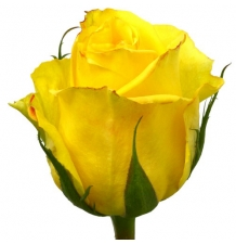 роза мохана 50см