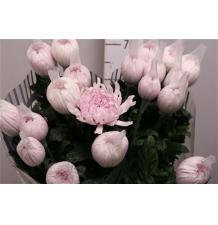 хризантема антоновка розовая