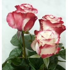 роза свитнесс 50см