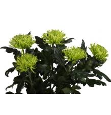 Хризантема зеленая