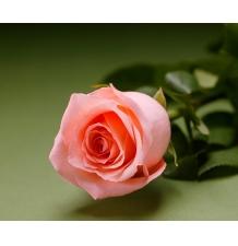 Роза Ангажемент 50см