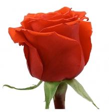 роза нина 50 см